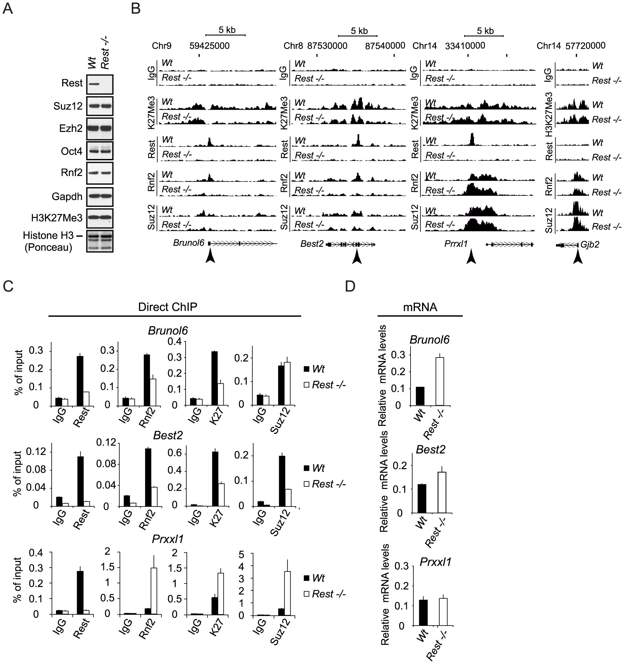 Rest regulates recruitment of PRC1 and PRC2 at specific genomic loci.