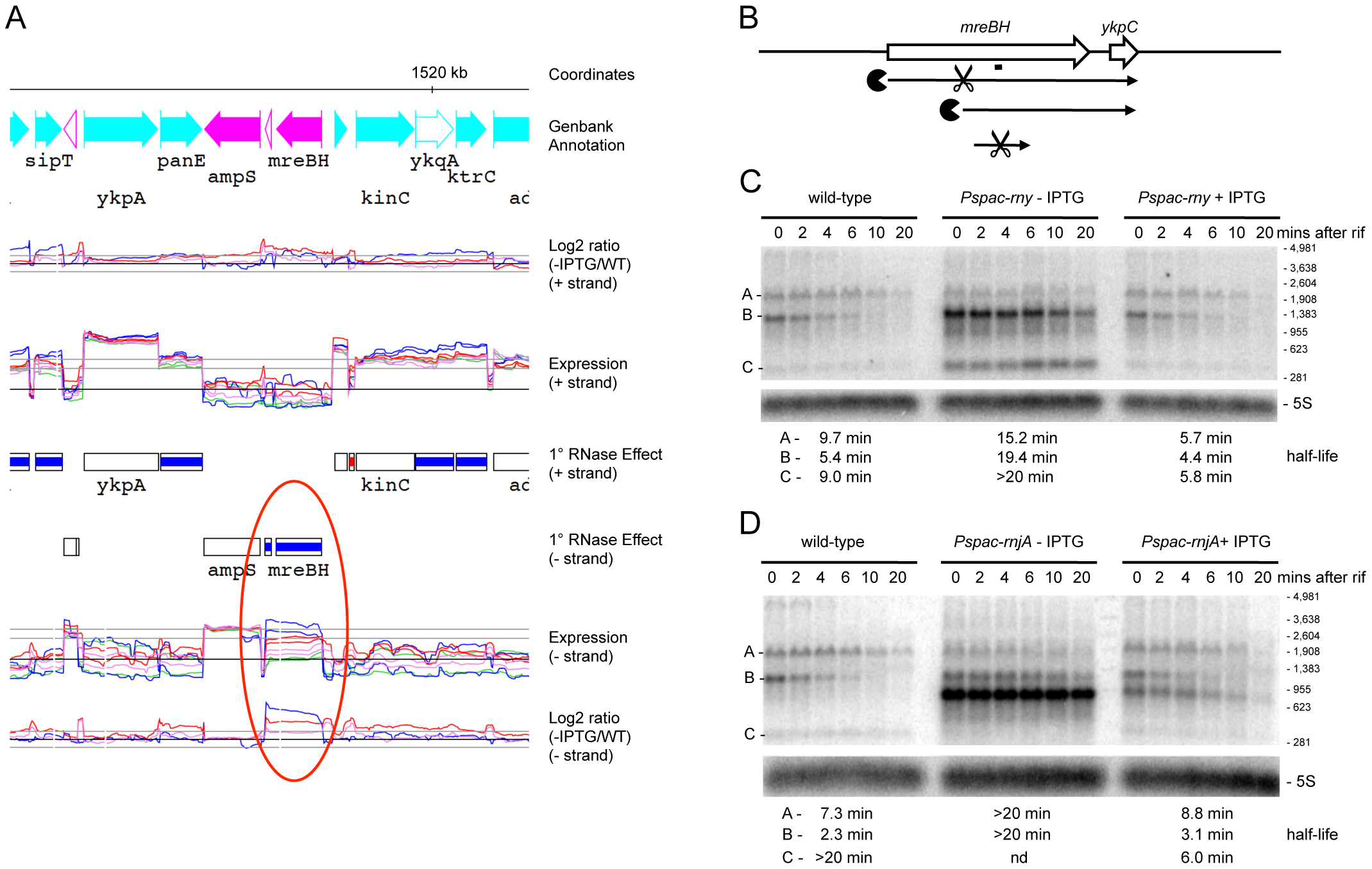 Degradation of the <i>mreBH ykpC</i> mRNA depends on both RNase Y and J1.