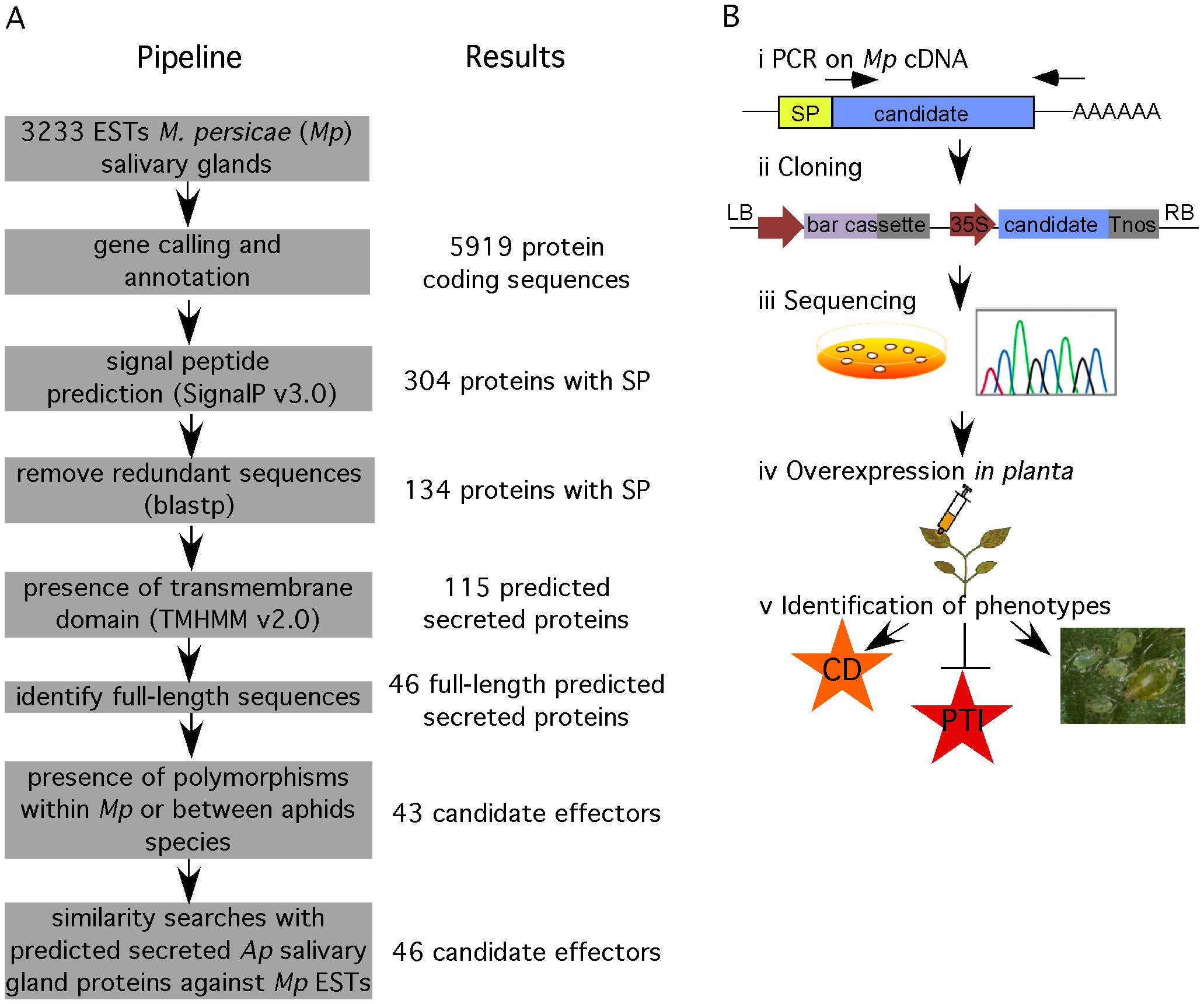 Overview of functional genomics pipeline to identify candidate effectors from <i>M. persicae</i>.