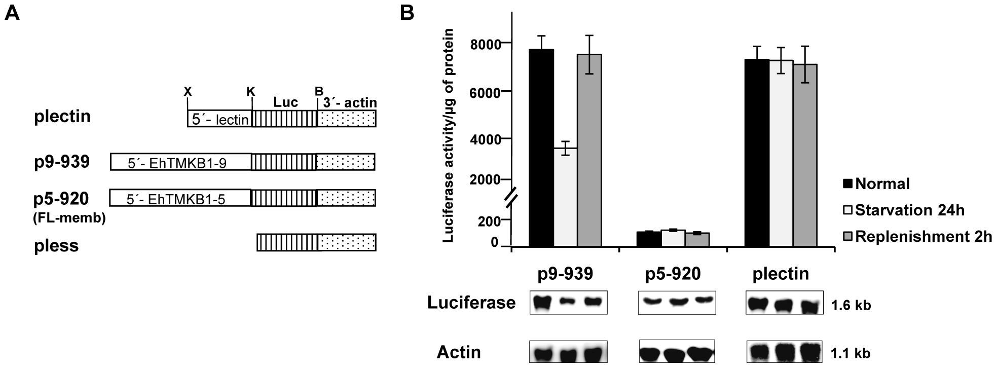 Promoter analysis of EhTMKB1-9 using luciferase as a reporter gene.