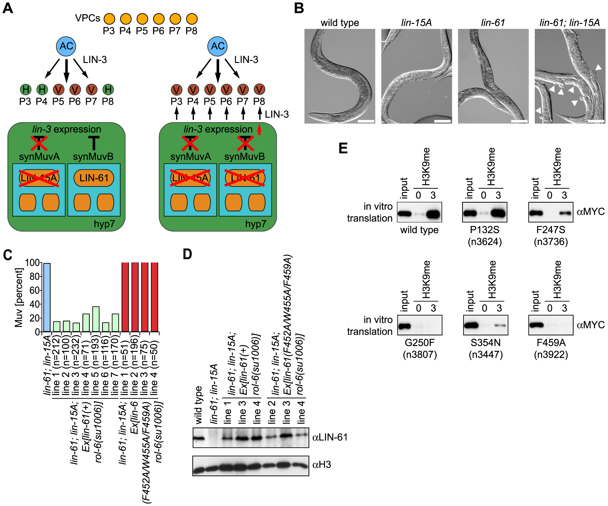 LIN-61–H3K9me3 binding is essential for <i>C. elegans</i> vulva development within the synMuvB pathway.