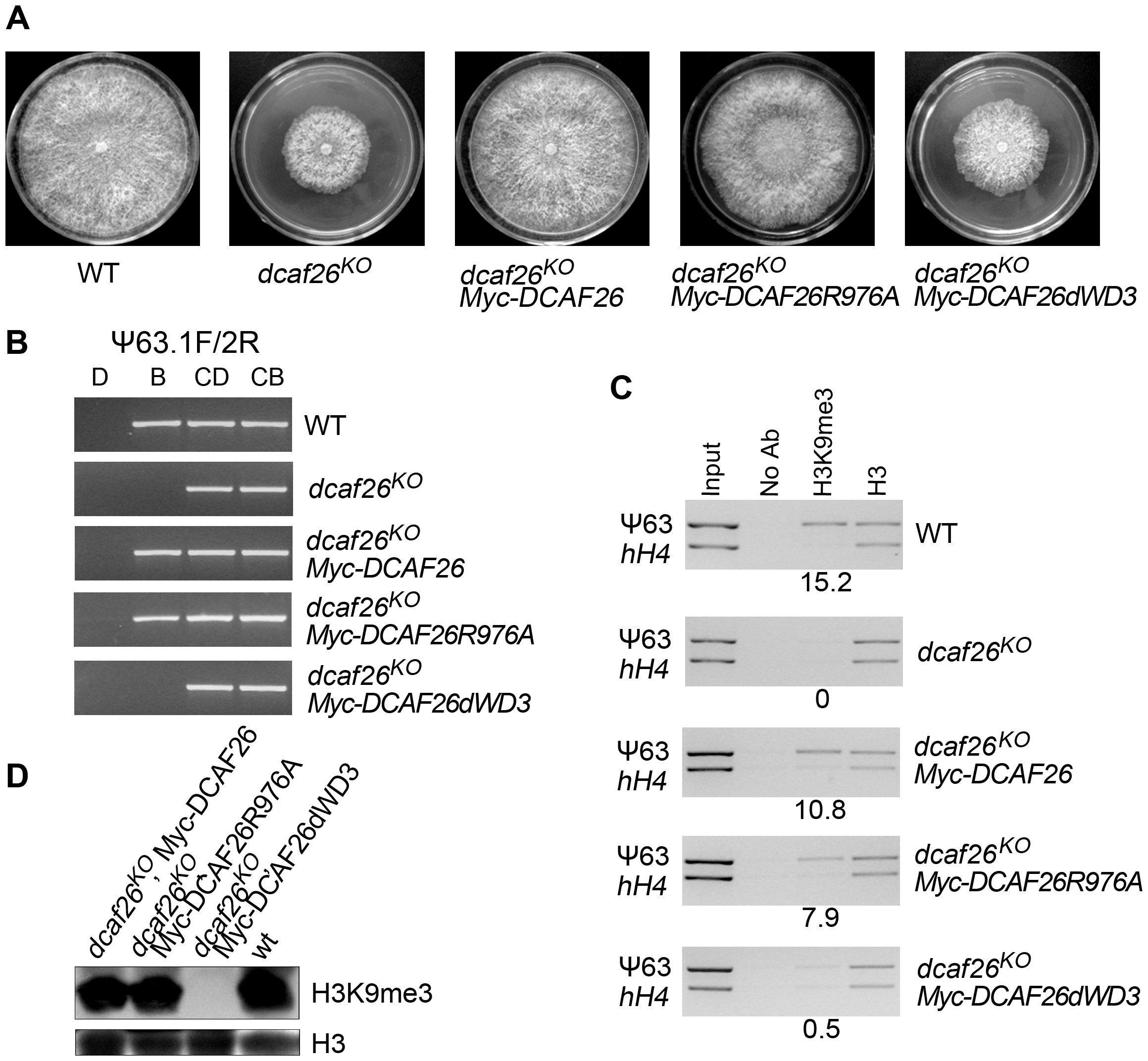 Interactions between DCAF26 and DDB1 are required for proper functioning of the Cul4-DDB1-DCAF26-DIM-5 complex.