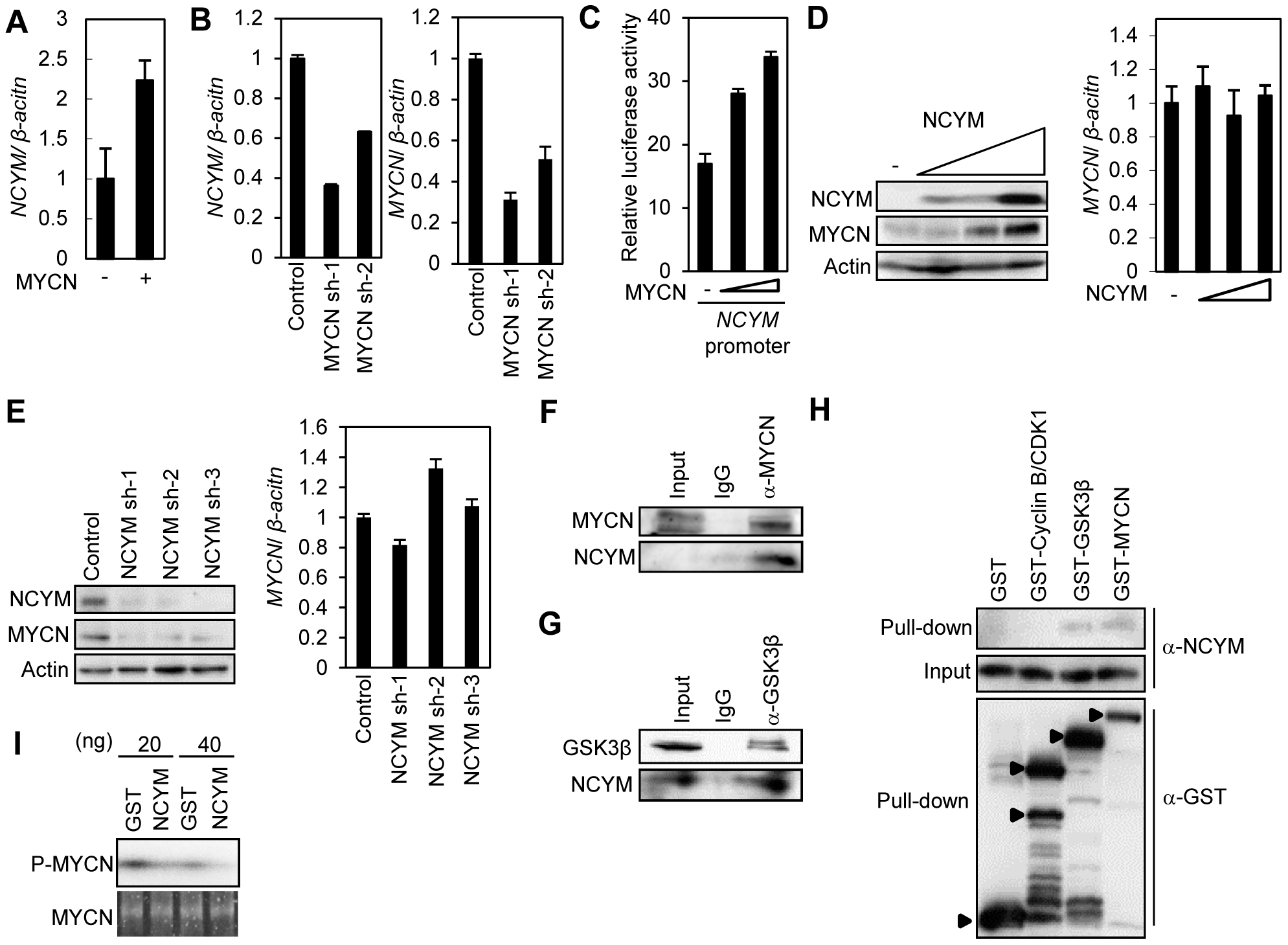 Functional interaction between NCYM and MYCN.