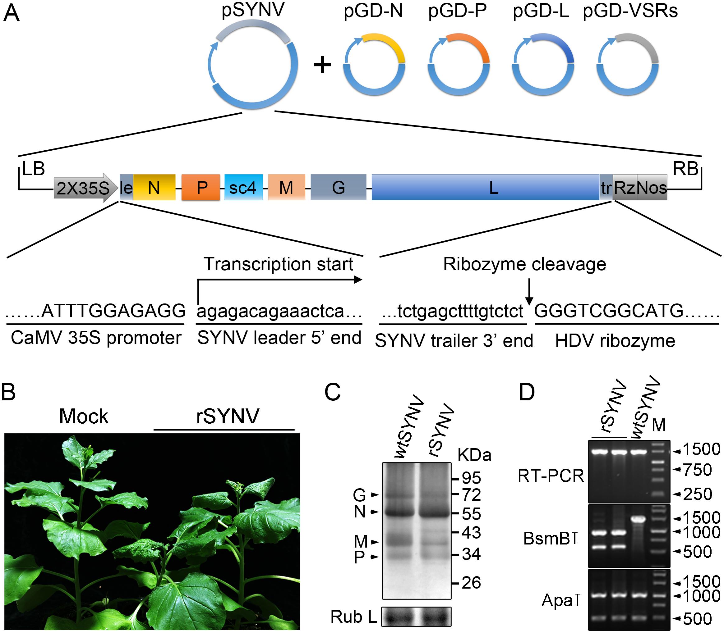 Recovery of recombinant SYNV in <i>N</i>. <i>benthamiana</i>.