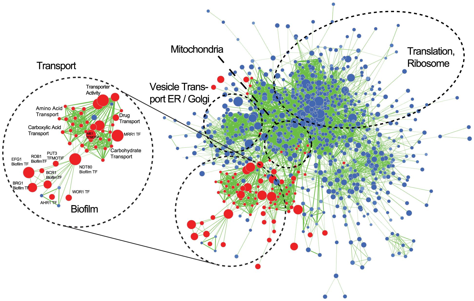 Gene Set Enrichment Analysis of the <i>C. parapsilosis</i> biofilm transcriptome.