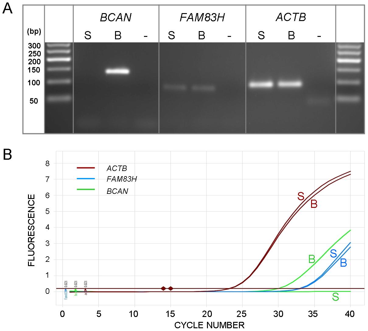 Expression levels of <i>BCAN</i> and <i>FAM83H</i>.