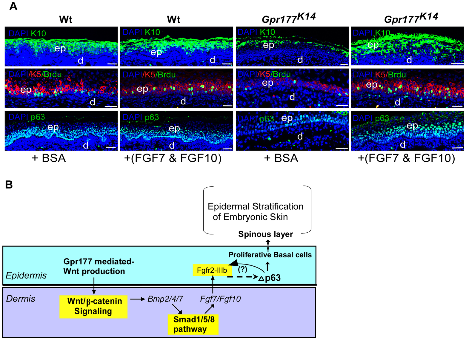 FGF7/FGF10 in dermis promotes the embryonic epidermal stratification in response to Wnt signaling.