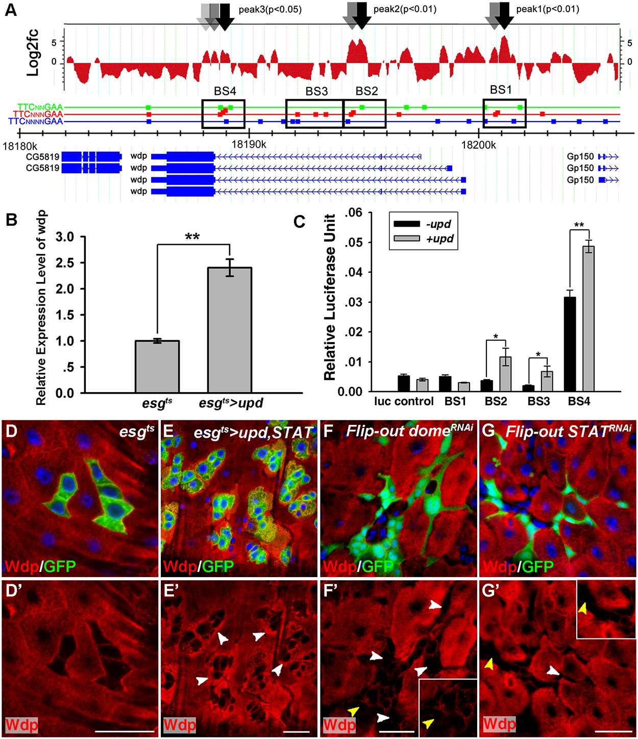 Wdp expression is positively regulated by JAK/STAT signaling in <i>Drosophila</i> intestines.