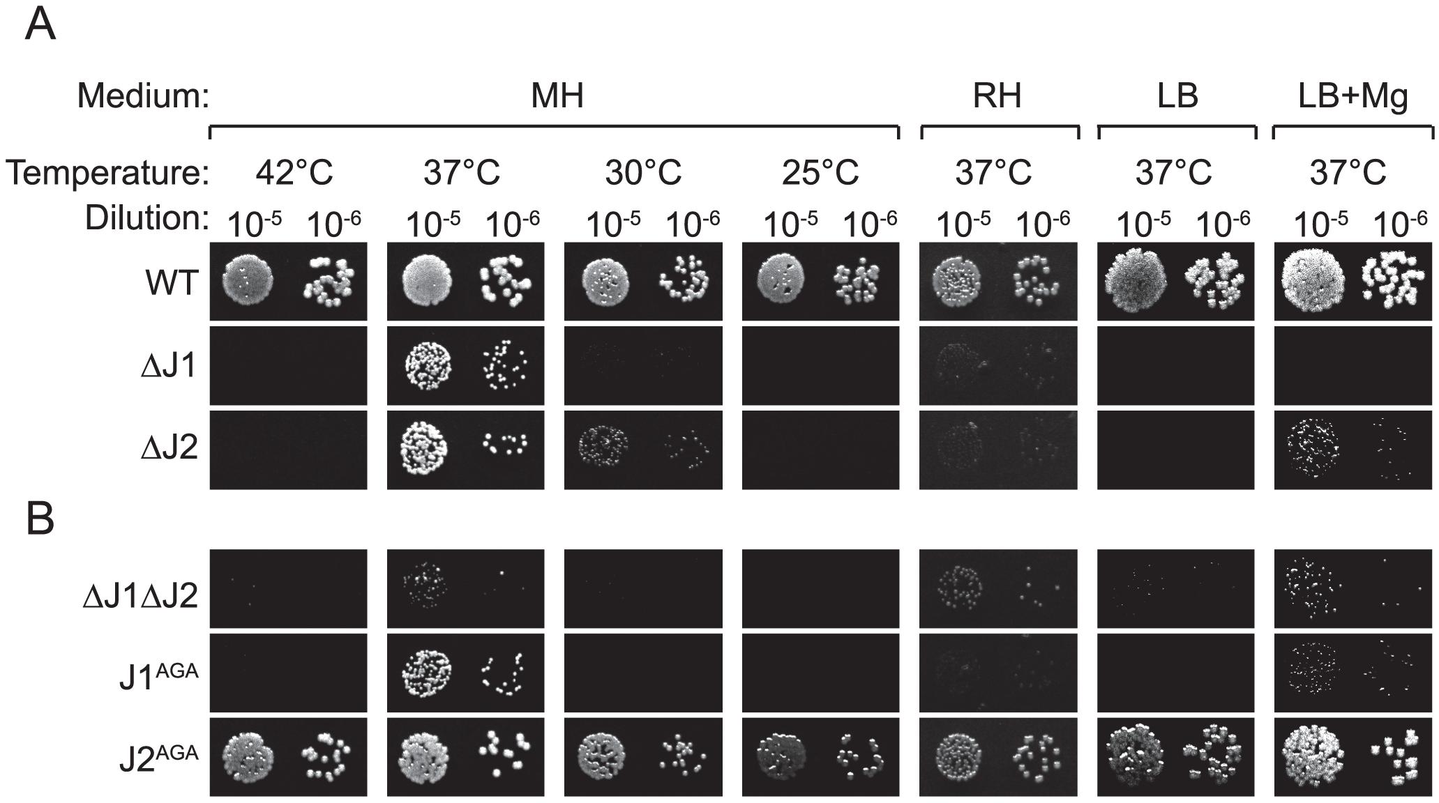 RNase J mutant phenotypes.