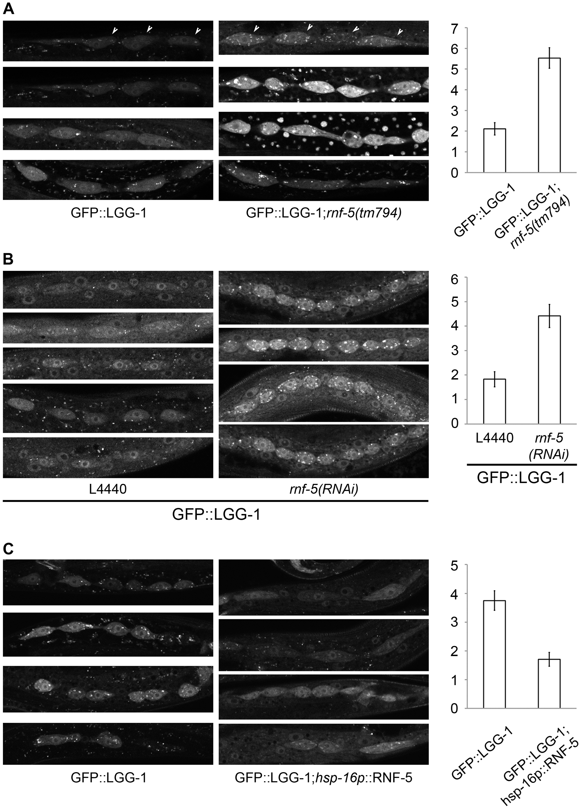 RNF-5 regulates autophagy in <i>C. elegans</i>.