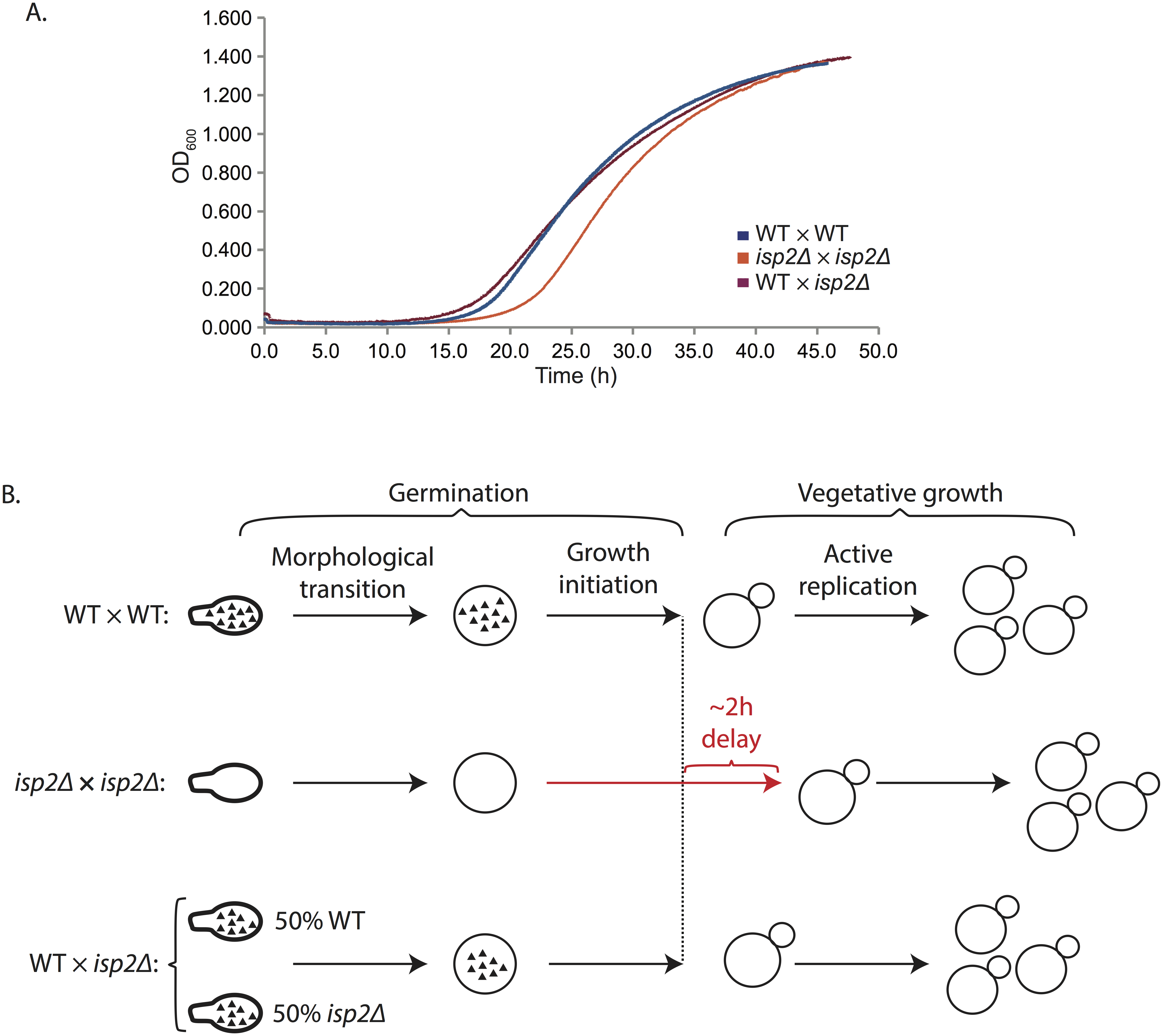Spores derived from wild type by <i>isp2Δ</i> crosses show wild type rates of germination.