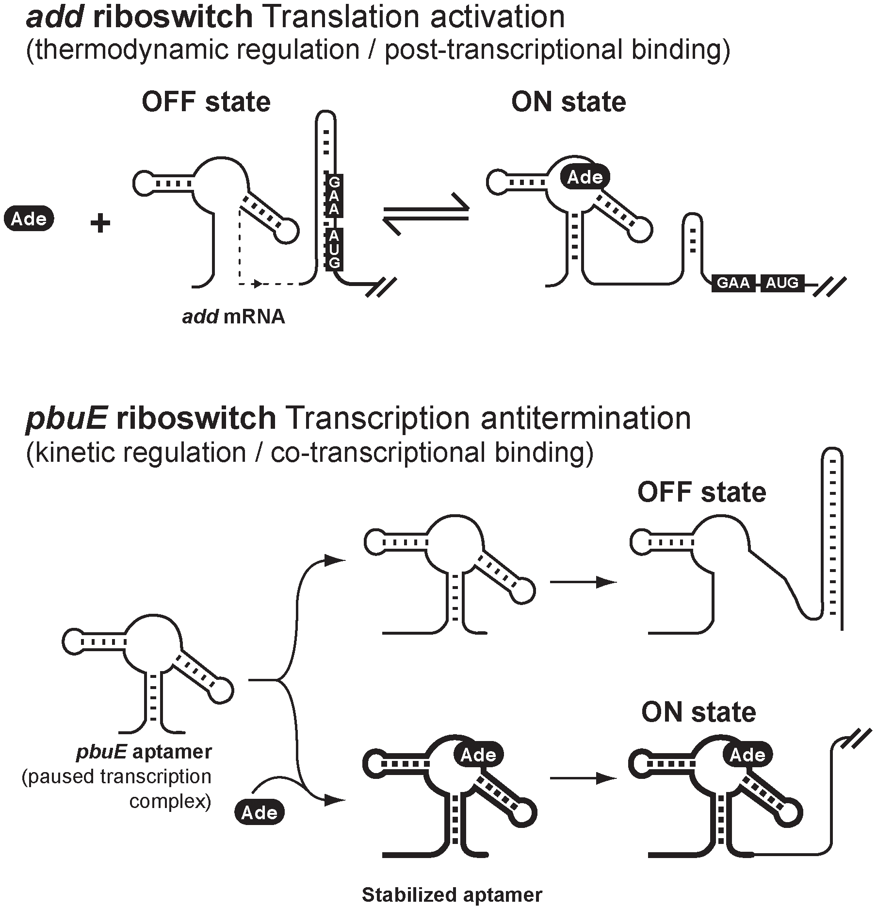 Schematic showing proposed regulation mechanisms for <i>add</i> and <i>pbuE</i> adenine riboswitches.