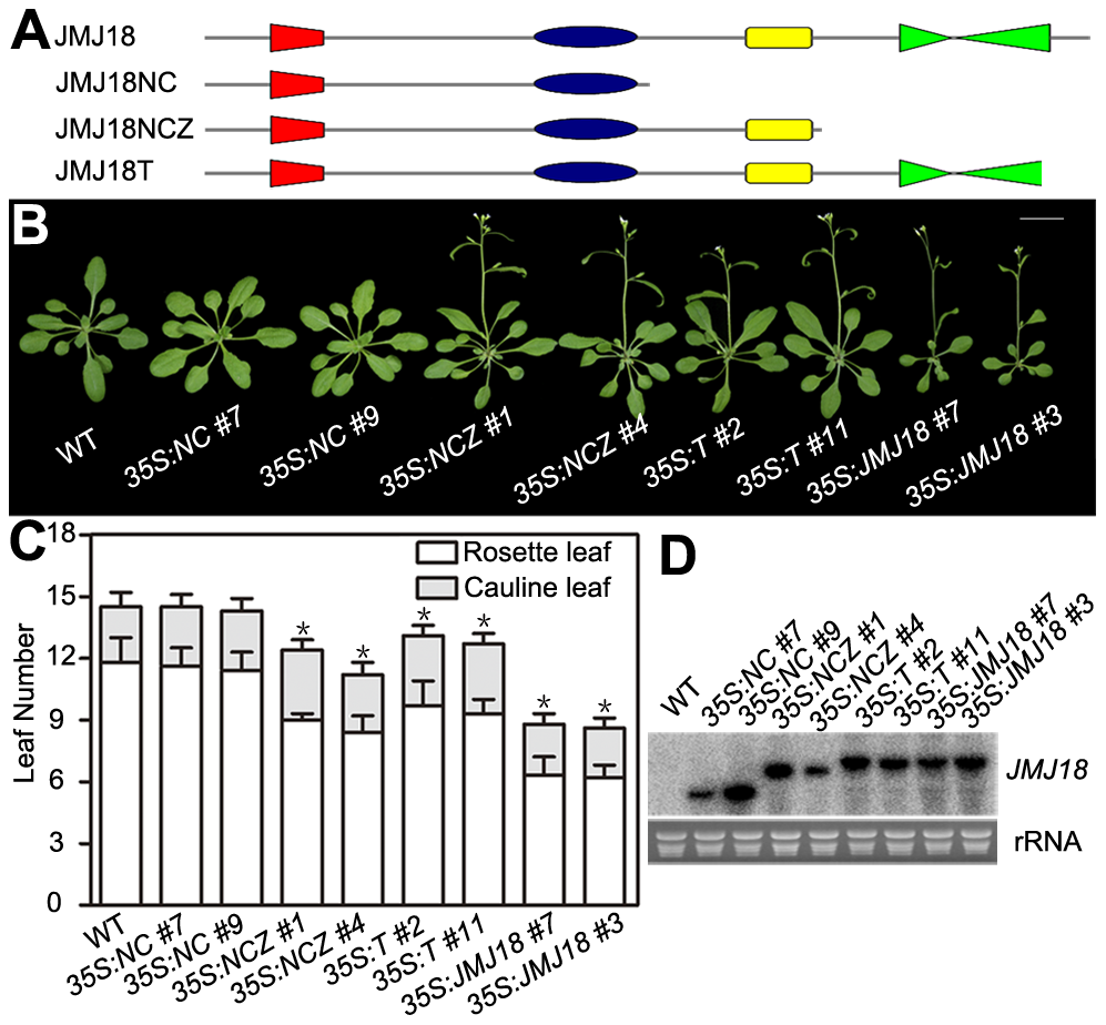 The JmjN, JmjC, and zinc-finger domains are necessary for the promotion of flowering by JMJ18.
