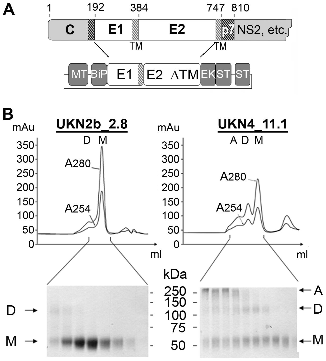Production and biochemical characterization of HCV E2e.