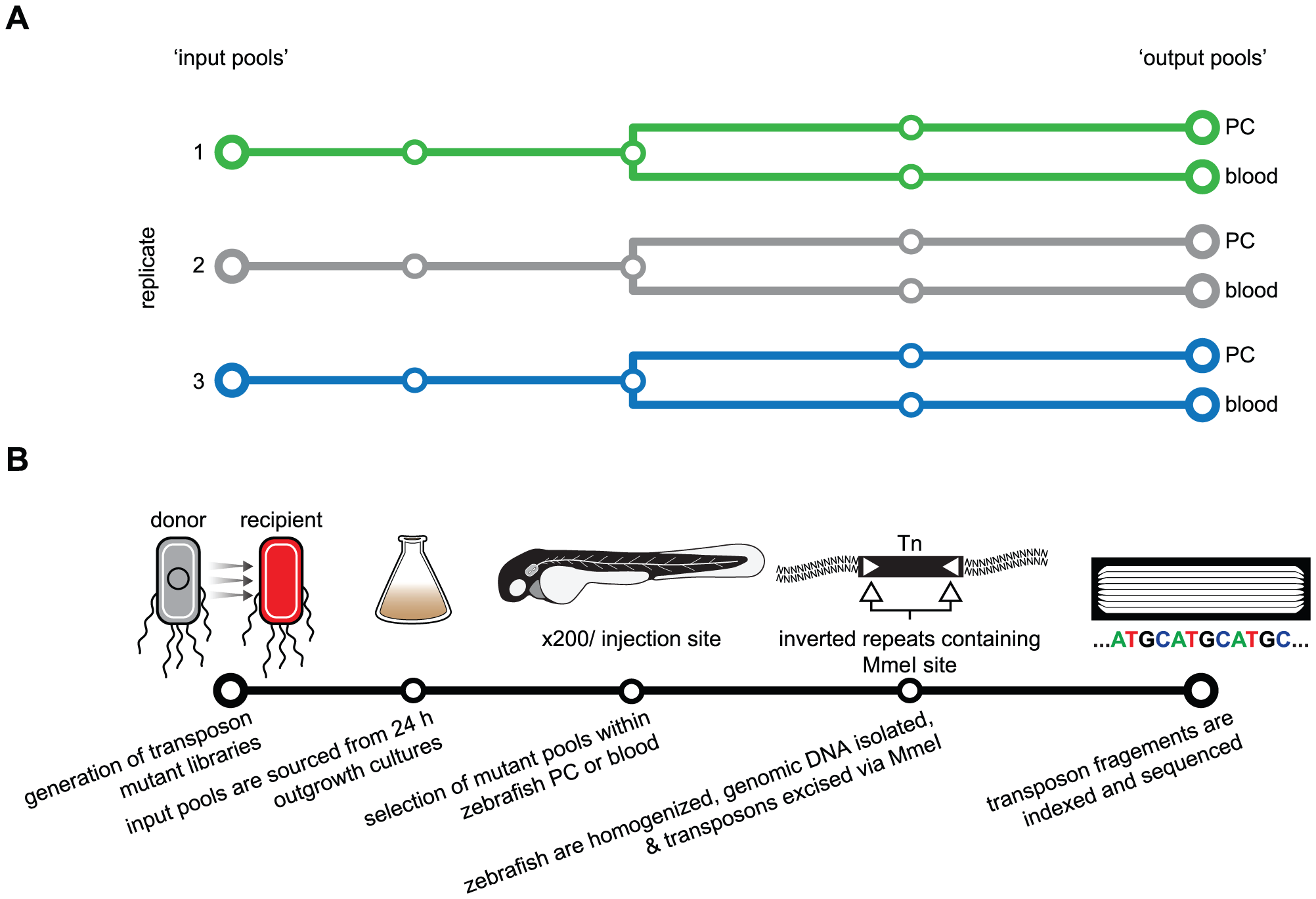Schematic of the Tn-seq selection screen used to identify genes necessary for fitness in a zebrafish infection model.