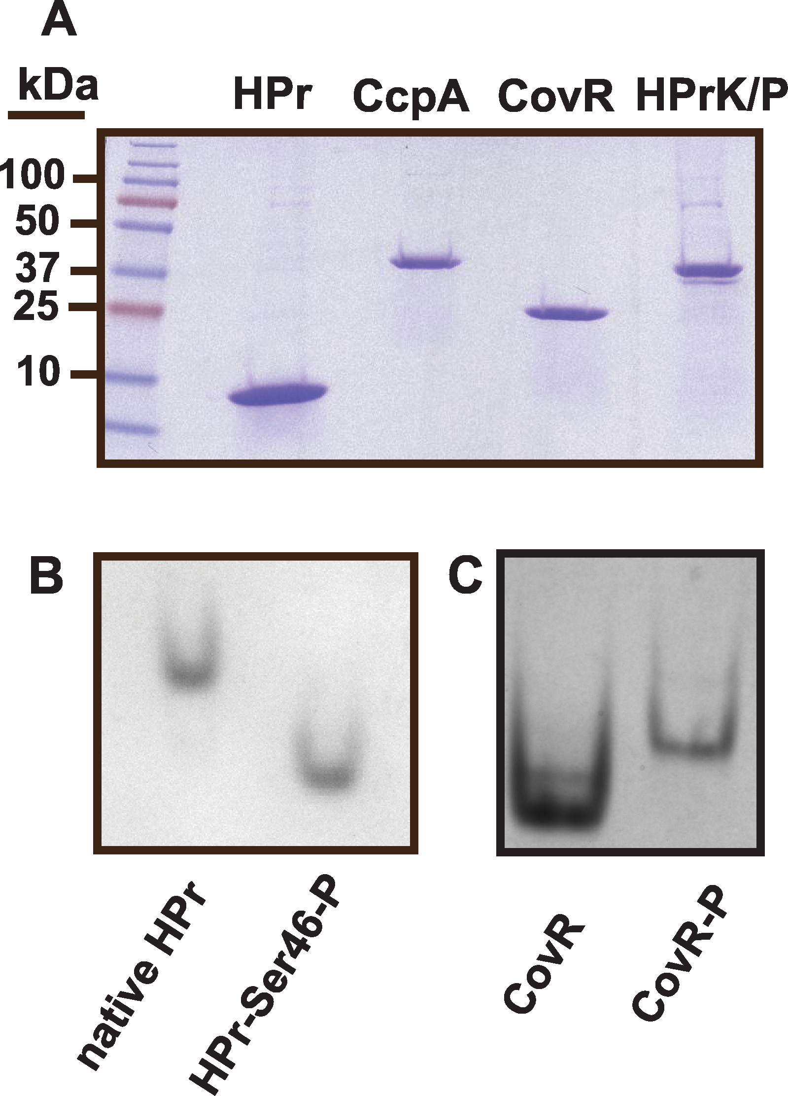 Recombinant GAS protein production and phosphorylation assays of recombinant GAS proteins.