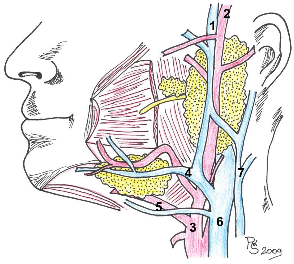 Cévní zásobení oblasti velkých slinných žláz (1. v. retromandibularis, 2. a. temporalis superficialis, 3. a. carotis externa, 4. a. facialis, v. facialis, 5. a. lingualis, v. lingualis, 6. v. jugularis interna, 7. v. jugularis externa).