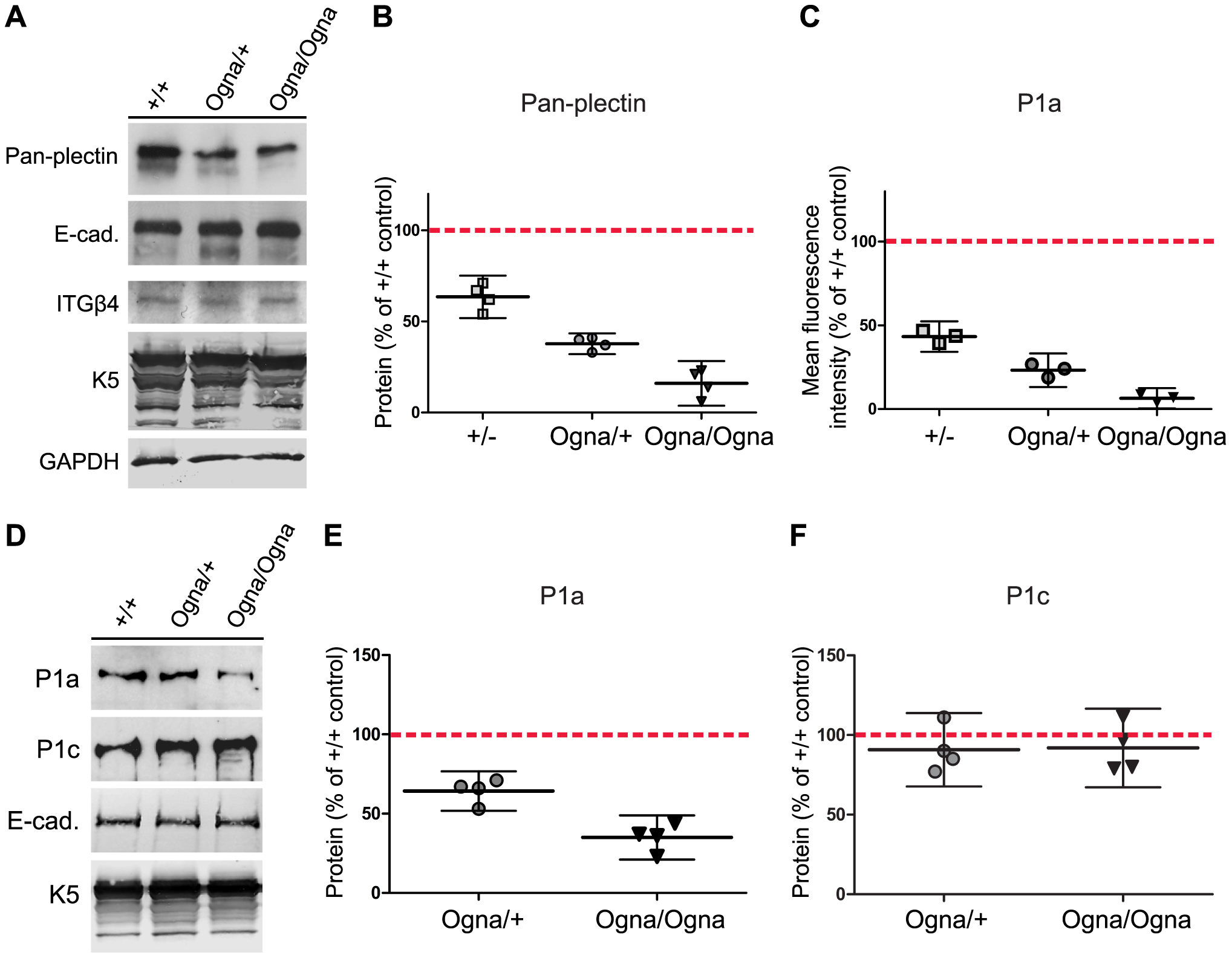 Downregulation of P1a protein levels in Ogna keratinocytes.