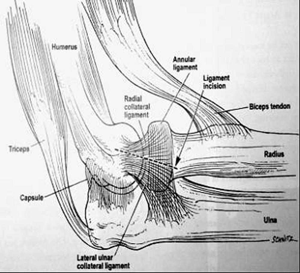 Anatómia letarálneho kolaterálneho ligamenta