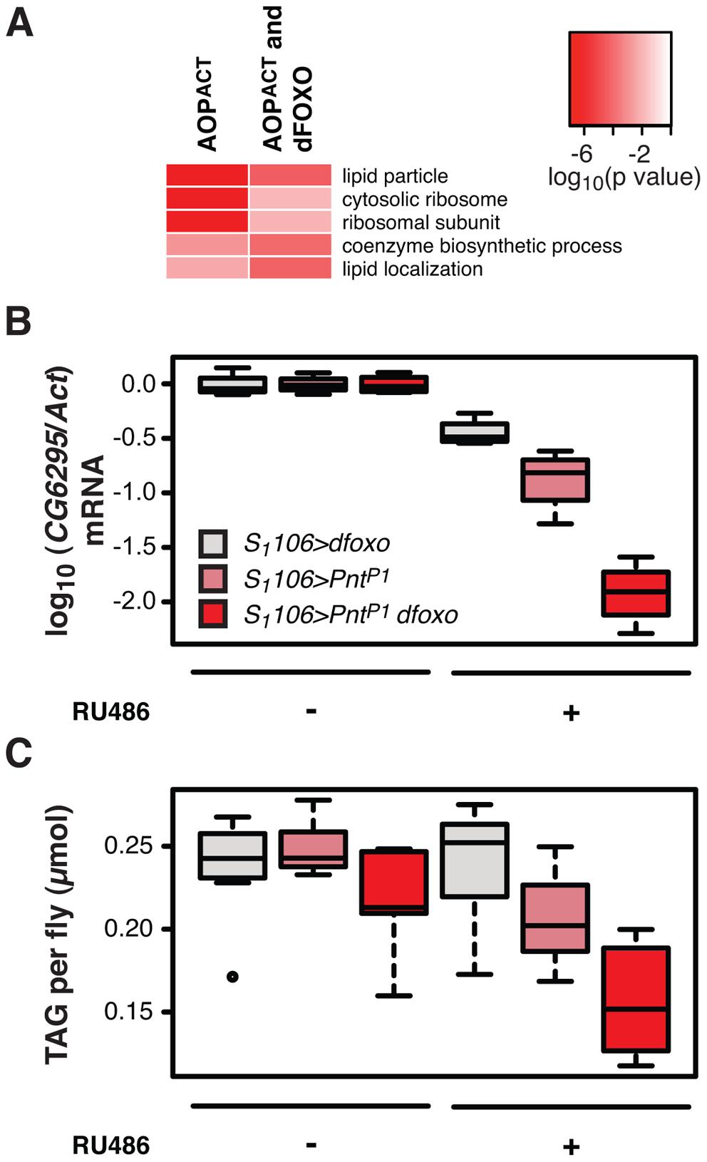 <i>dfoxo</i> and <i>Pnt</i> act synergistically on lipid metabolism.