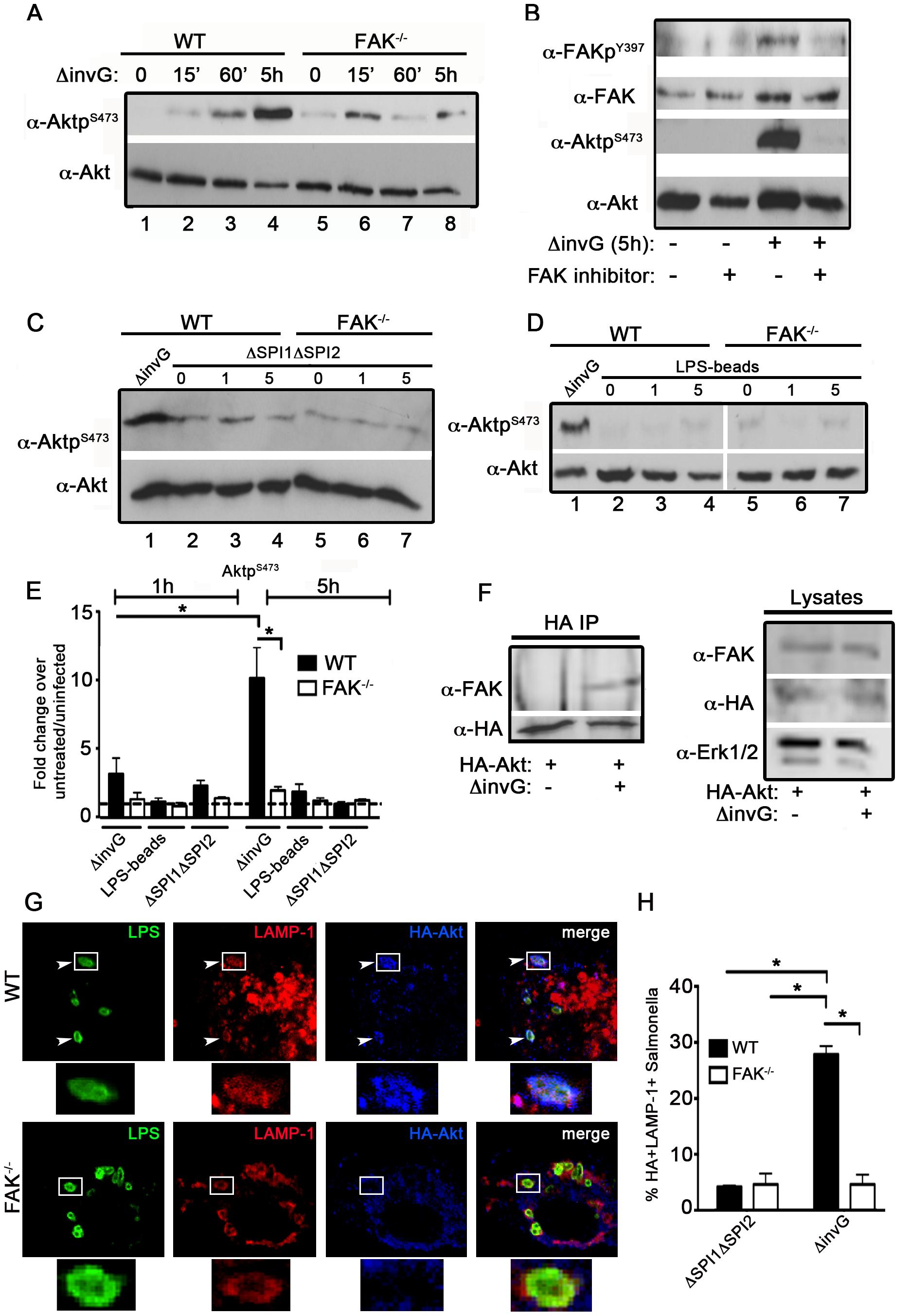 Akt activation in response to <i>Salmonella</i> requires FAK.