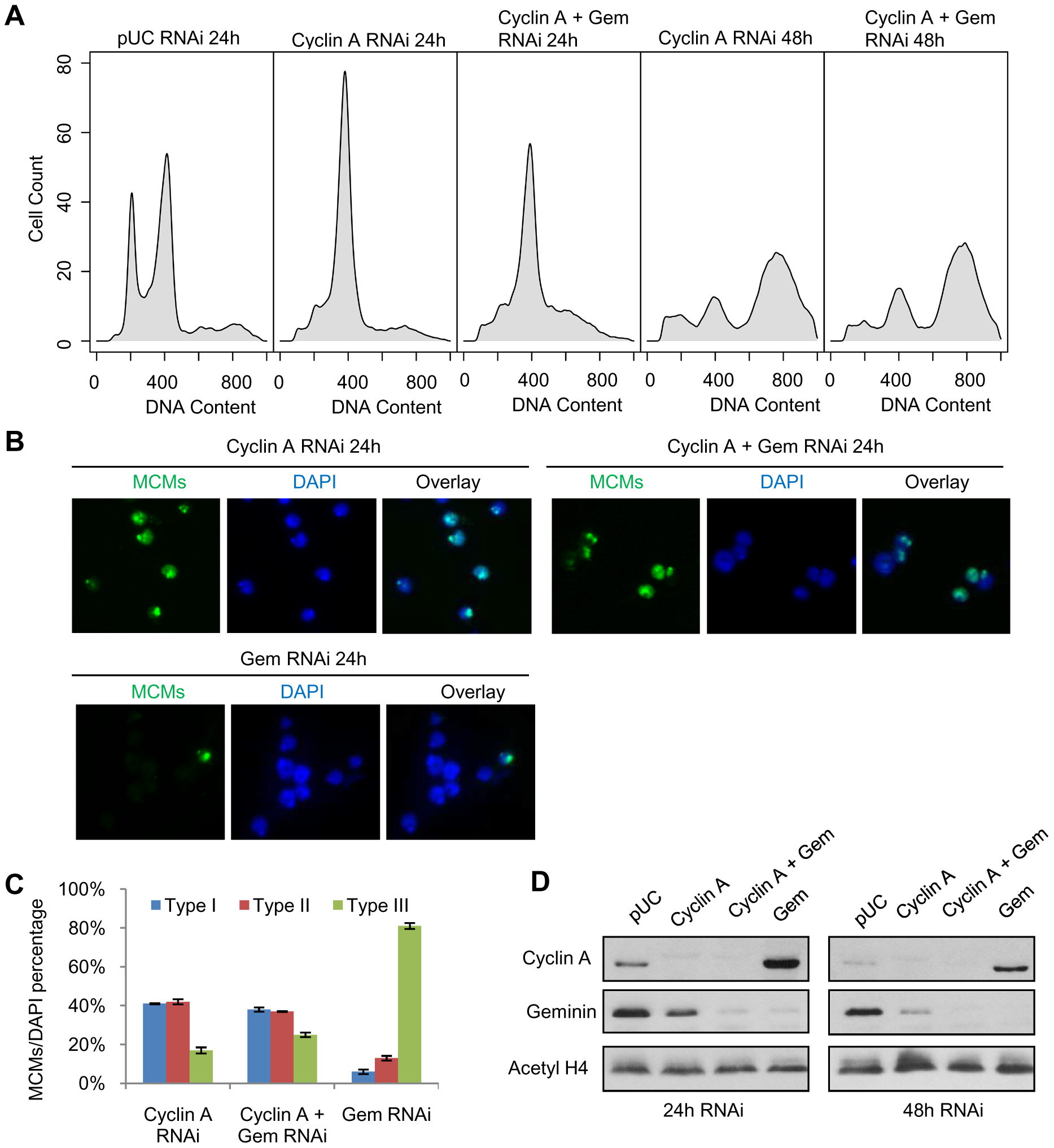 Cyclin A - CDK activity restricts pre-RC formation to the heterochromatin.