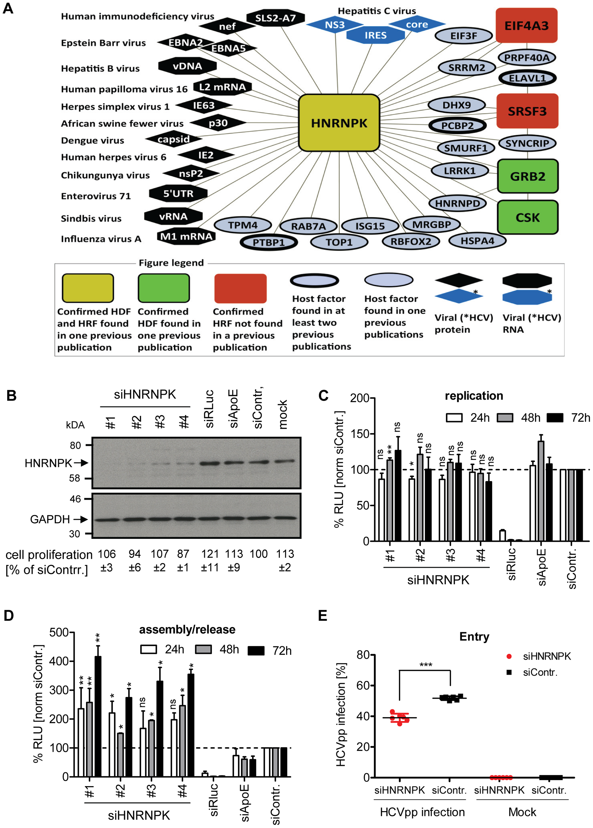 HNRNPK restricts HCV assembly/release but does not affect viral RNA replication.