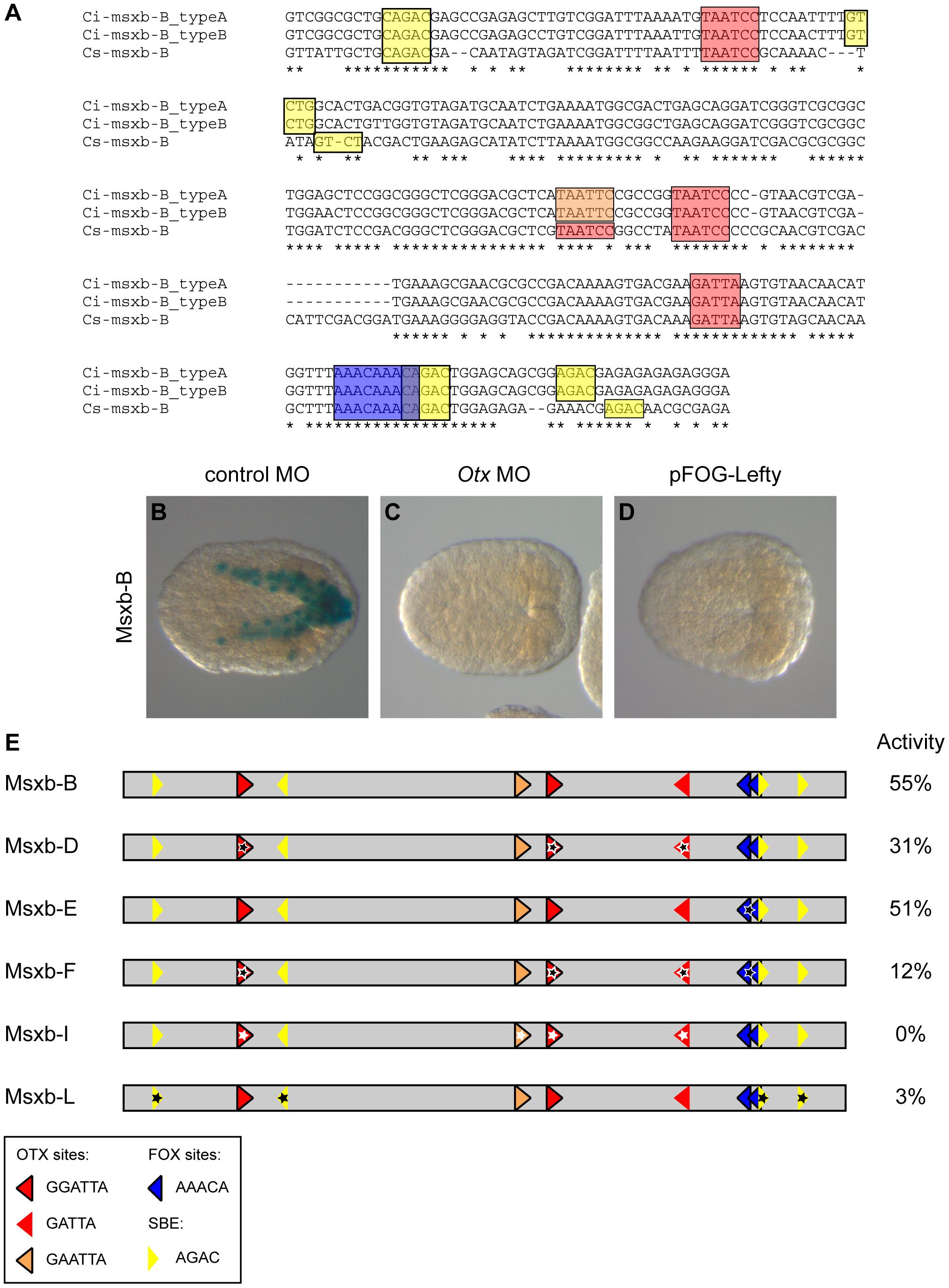 Otx, Fox and Smad putative binding sites control msxb-B enhancer activity.