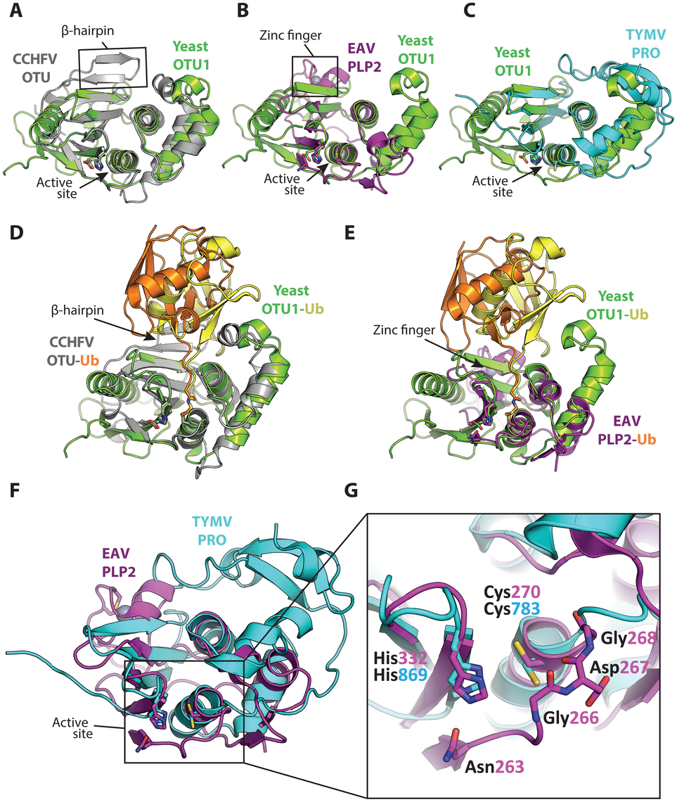 Superpositions of the viral OTU proteases with yeast OTU1 and one another.