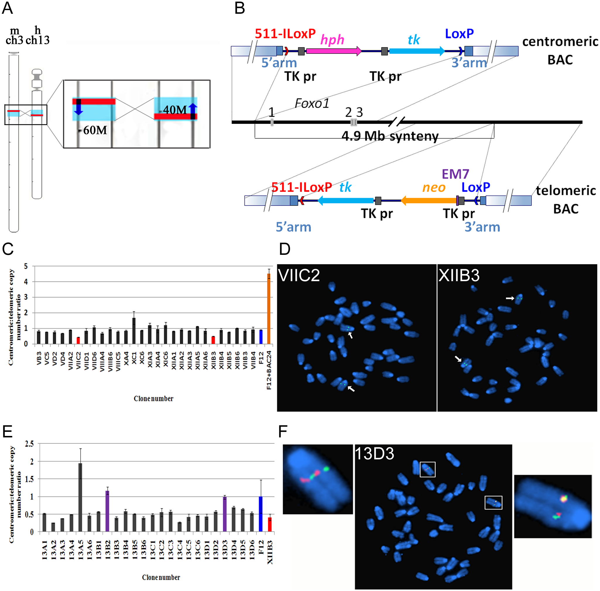 Strategy to invert a 4.9Mb region on mouse chromosome 3-containing <i>Foxo1</i>.