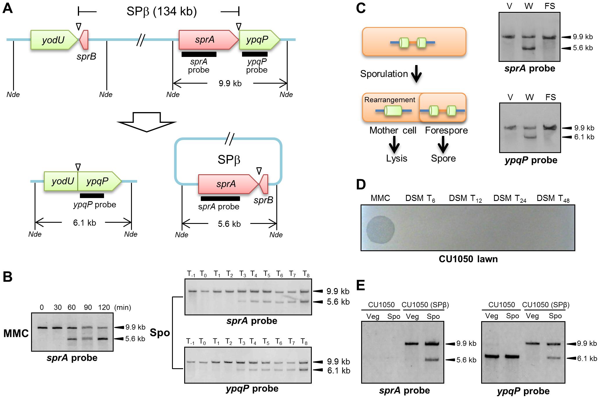 DNA rearrangement at the <i>spsM</i> locus.