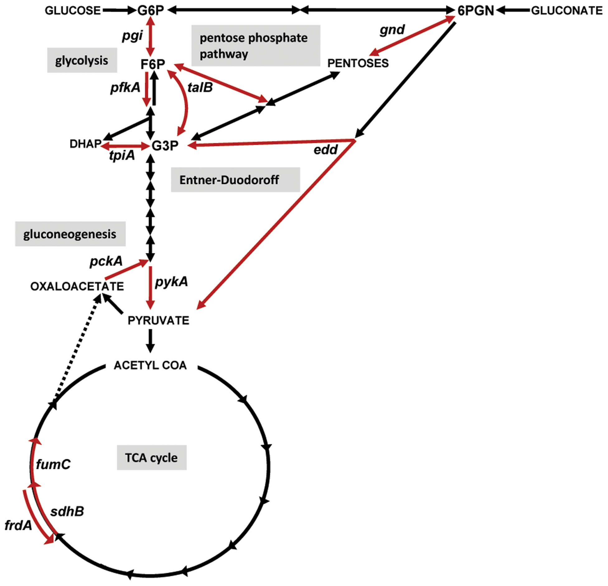 Diagram of central metabolism and map of the specific pathways disrupted by targeted mutations in uropathogenic <i>E. coli</i> and <i>P. mirabilis</i>.