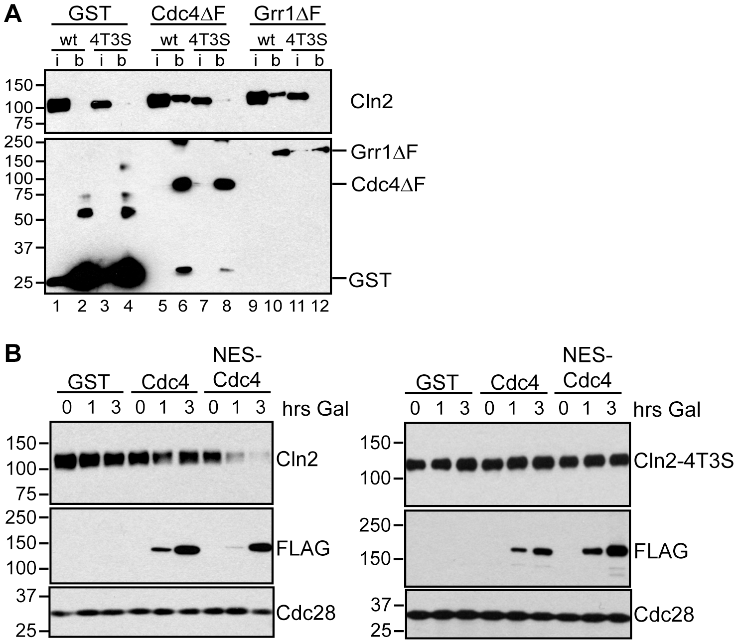 Cdc4 can target Cln2 for degradation upon co-localization.