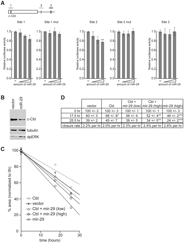 c-Cbl is a target of hsa-miR-29 in mammalian cells.
