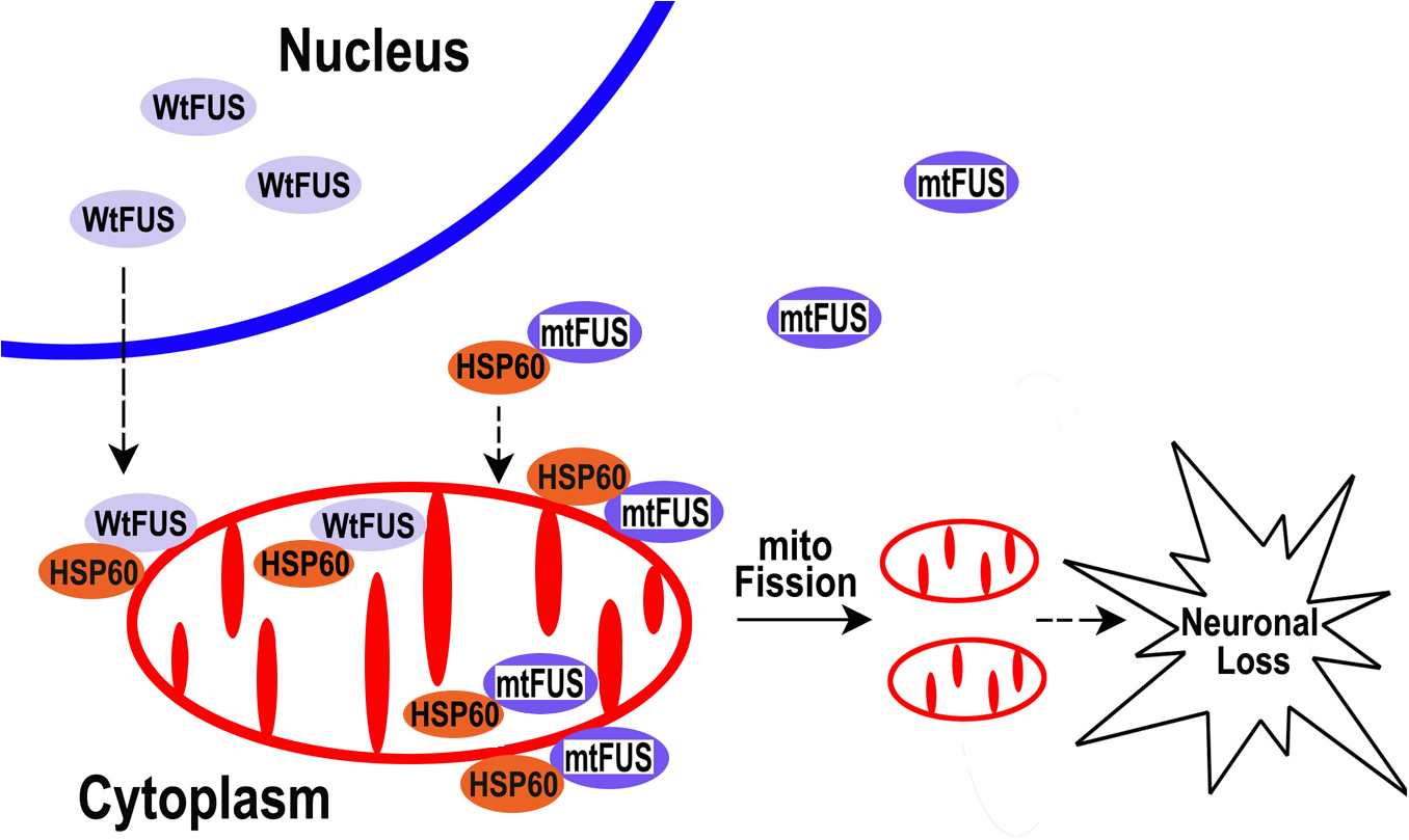 A working model for FUS-induced neurotoxicity.