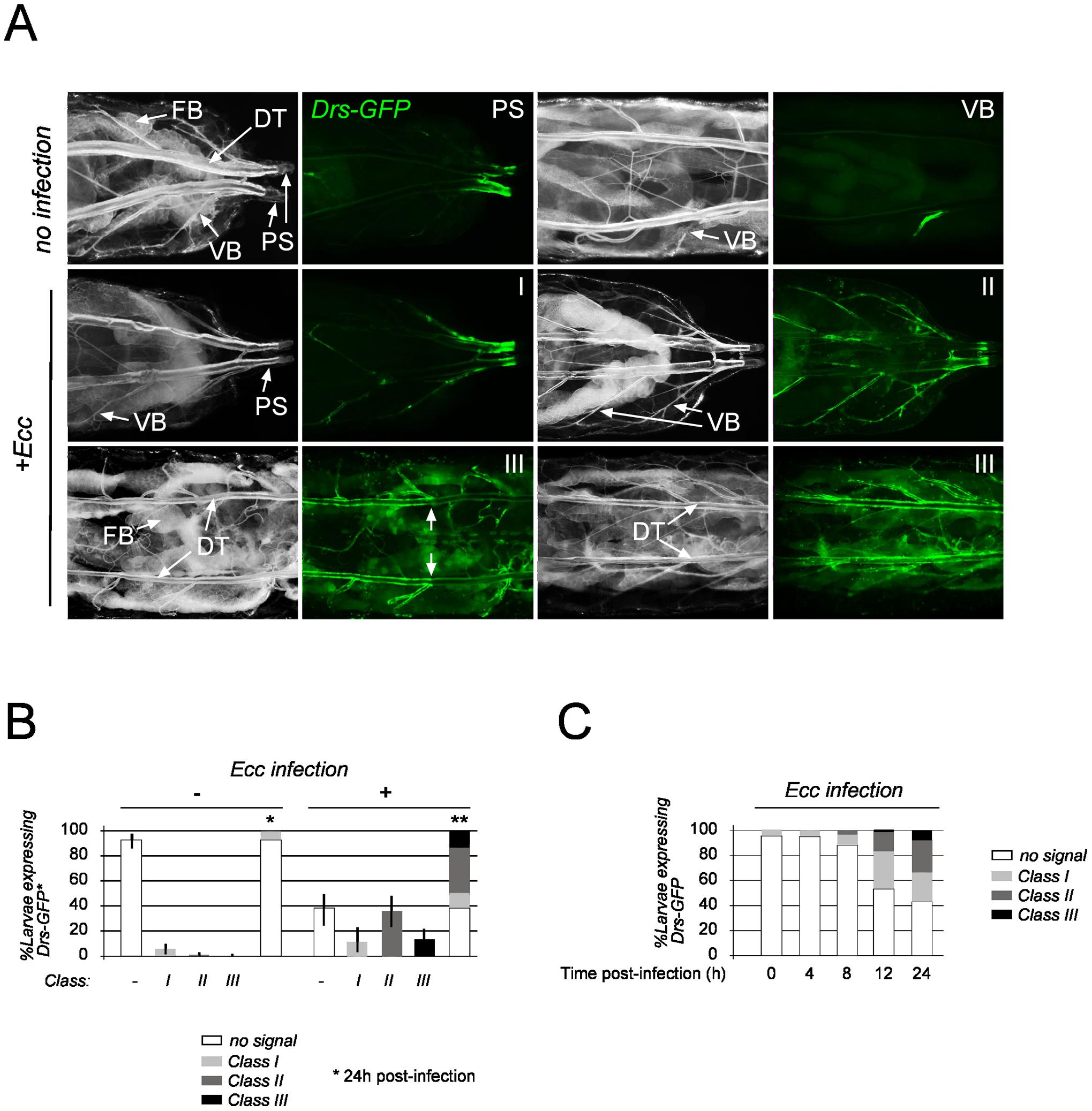 Spatio-temporal expression of tracheal <i>Drosomycin-GFP</i>.