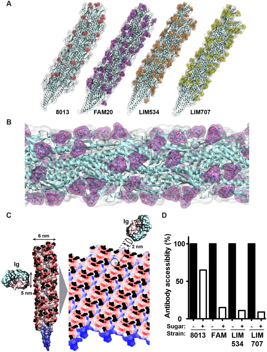 Molecular modeling of antibody accessibility to the primary structure of class II pilins.