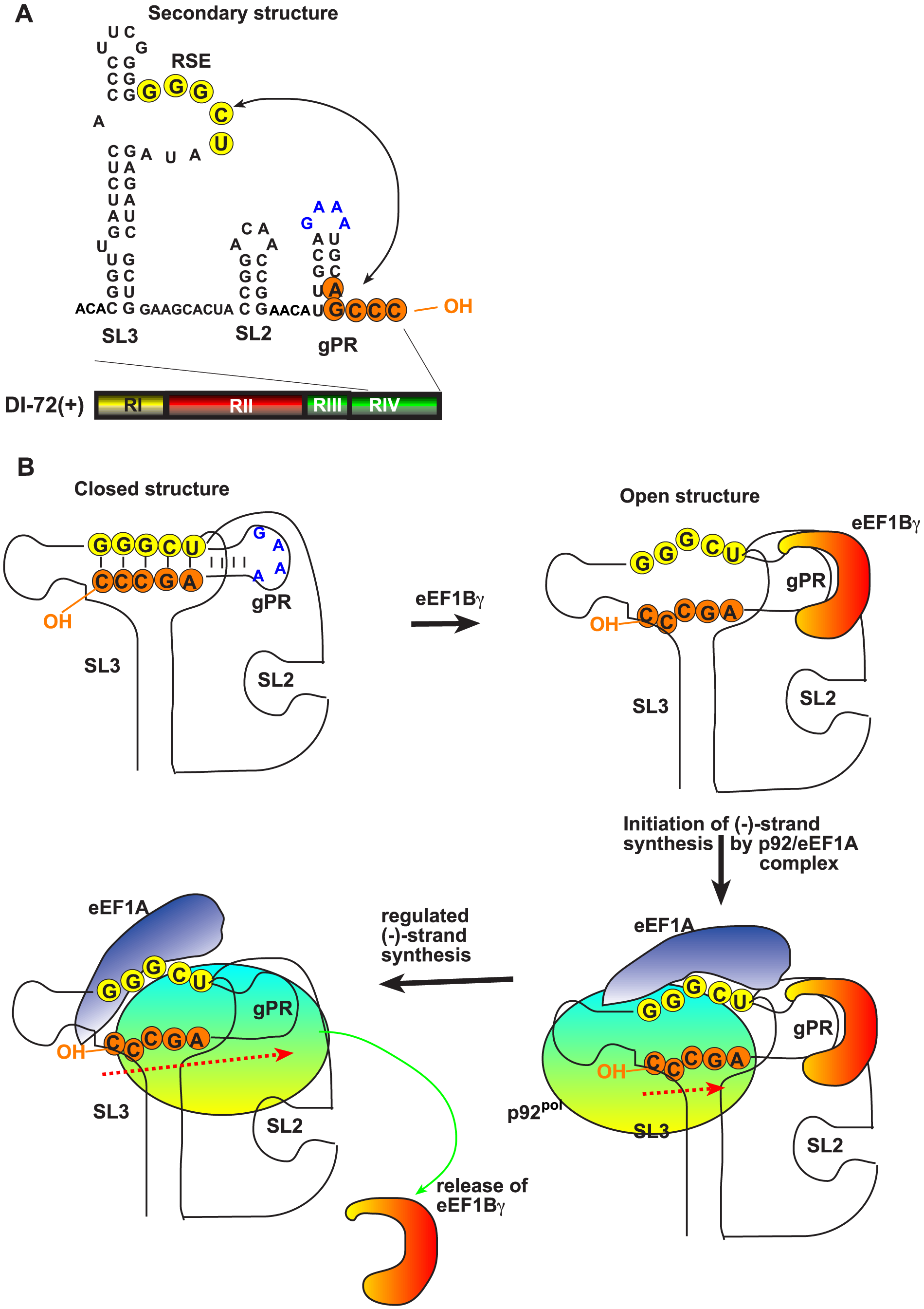 A model describing the functions of eEF1Bγ and eEF1A during tombusvirus replication.