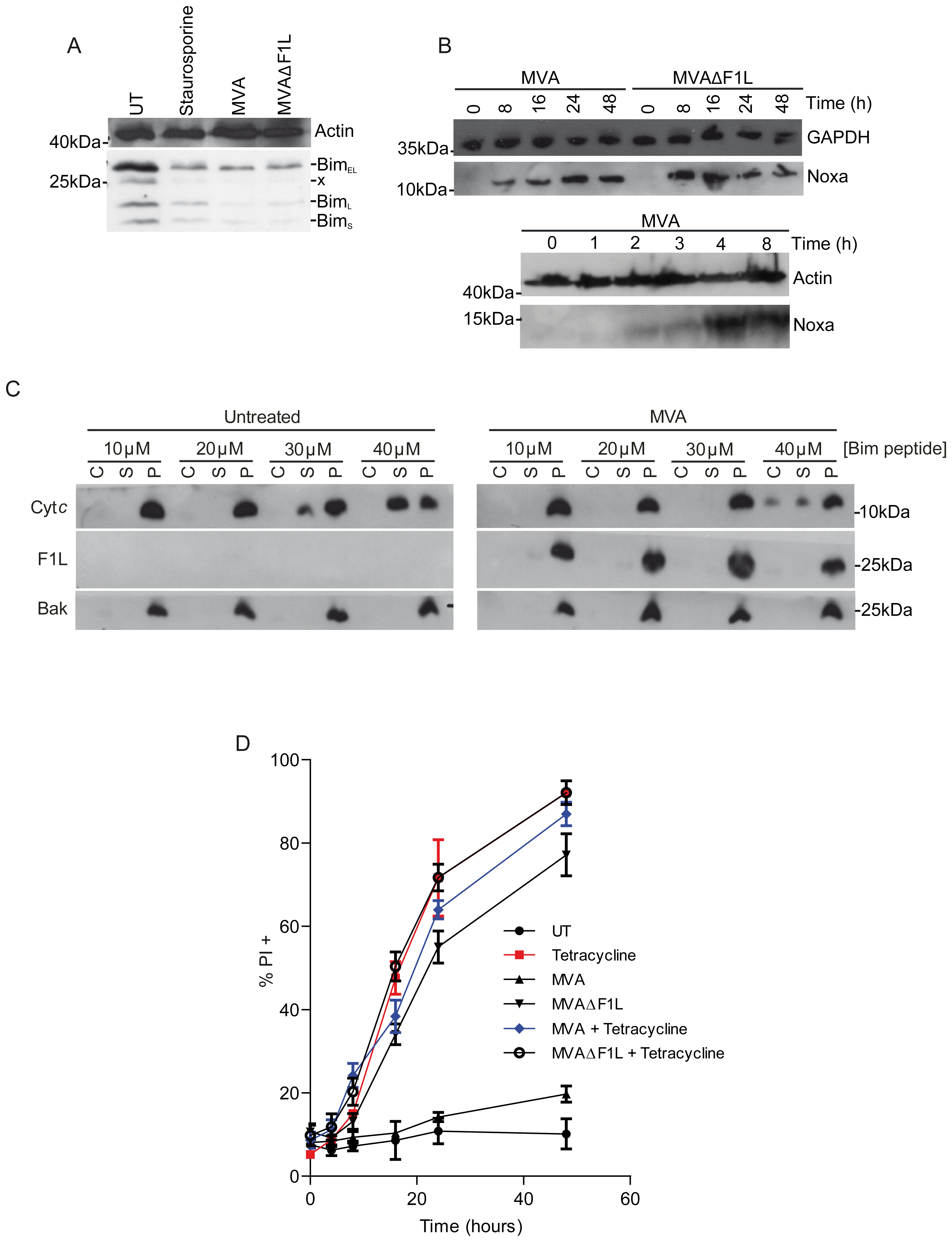 MVA infection causes a reduction in Bim levels and induction of Noxa expression while F1L weakly inhibits Bim induced apoptosis.