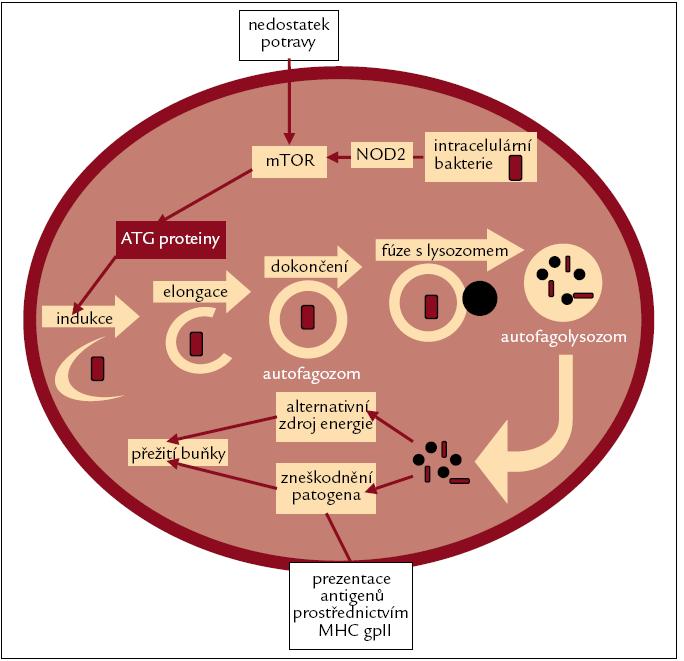 Vnitrobuněčné organely nebo invadující patogeny jsou nejprve postupně obklopovány dvojvrstevnou membránou, až dojde k vytvoření autofagozomu.  Autofagozom pak splývá s lysozomem za vzniku autofagolysozomu, což usnadňuje degradaci, zpracování a recyklaci obsahu autofagozomu. Lysozomální enzymy nejprve rozloží vnitřní membránu autofagolysozomu a pak zpracují jeho obsah. Nakonec dojde k uvolnění aminokyselin do cytoplazmy, kde mohou být zužitkovány, a nebo, jak již bylo zdůrazněno, mohou být vystaveny na povrchu buněk pomocí MHC gp II.