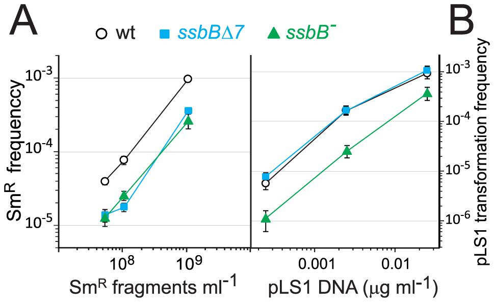 Differential effect of <i>ssbB</i><sup>−</sup> and <i>ssbB</i>Δ<i>7</i> mutations on chromosomal and plasmid chromosomal transformation.
