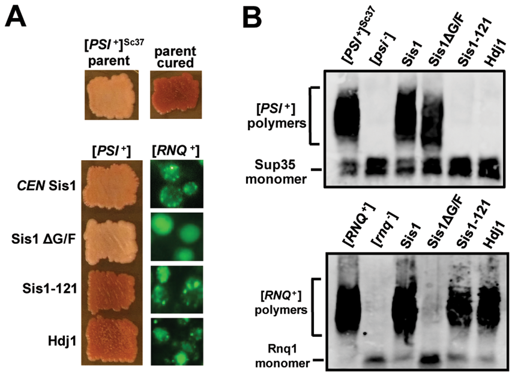 [<i>RNQ<sup>+</sup></i>] and weak [<i>PSI<sup>+</sup></i>]<sup>Sc37</sup> are reciprocally maintained by Sis1ΔG/F and Sis1-121 when assayed simultaneously in the same yeast cells.