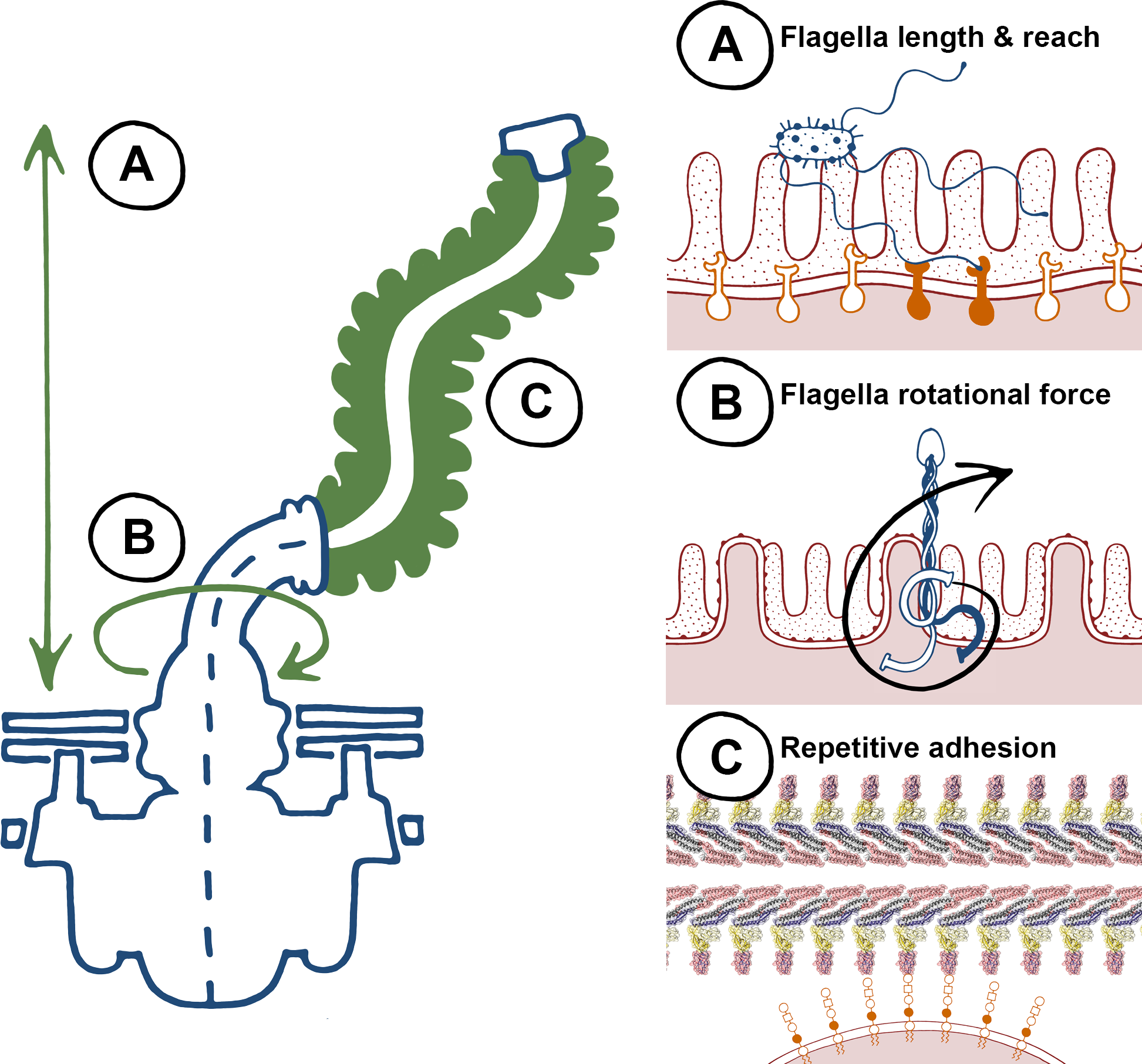 """The biophysical properties of flagella, to """"twist and stick,"""" lend themselves towards nonspecific adhesion."""