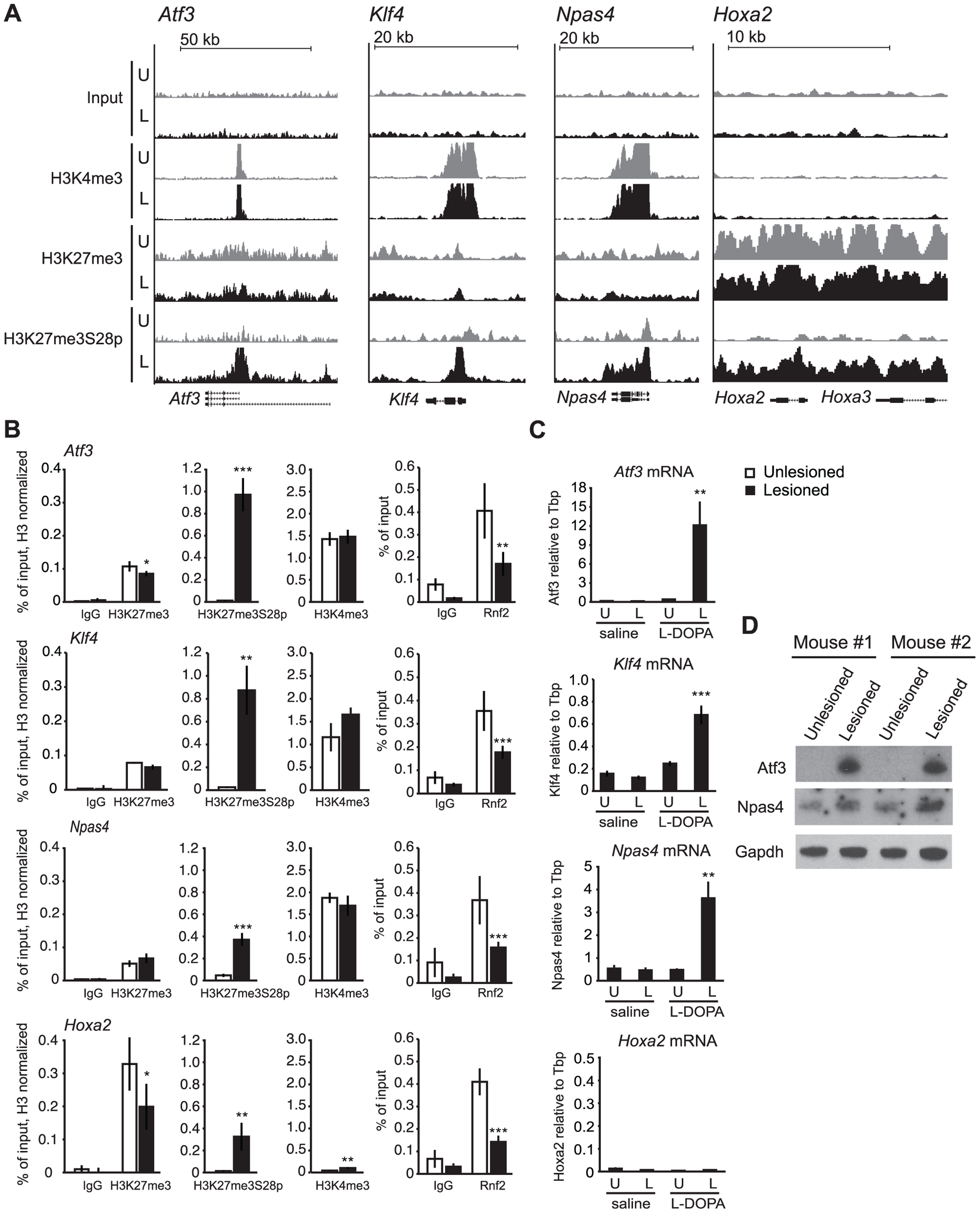 L-DOPA mediated H3K27me3S28 phosphorylation correlate with reduced PcG binding and derepression of genes.
