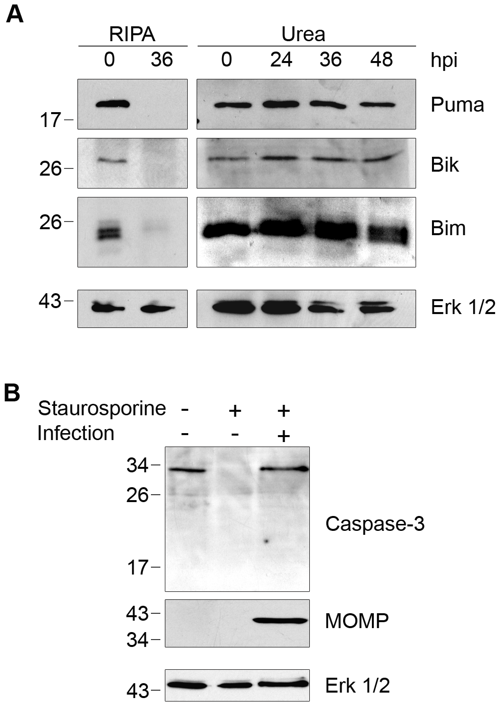 Degradation of BH3-only proteins in <i>Chlamydia</i>-infected cells is prevented by inhibiting CPAF during cell processing.