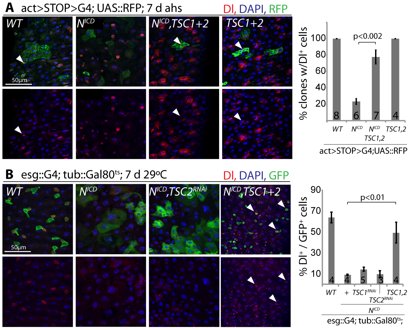 TSC repression in EBs is required for ISC differentiation.