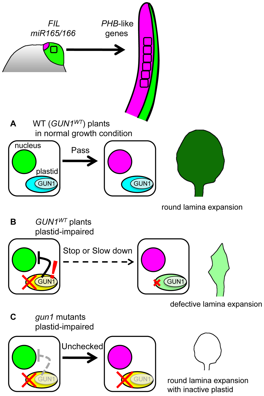 Model for FMB regulation by GUN1-dependent retrograde signal.