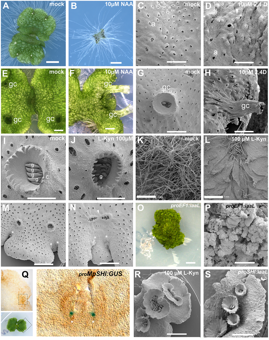 Developmental effects of auxin in the <i>M</i>. <i>polymorpha</i> thallus.