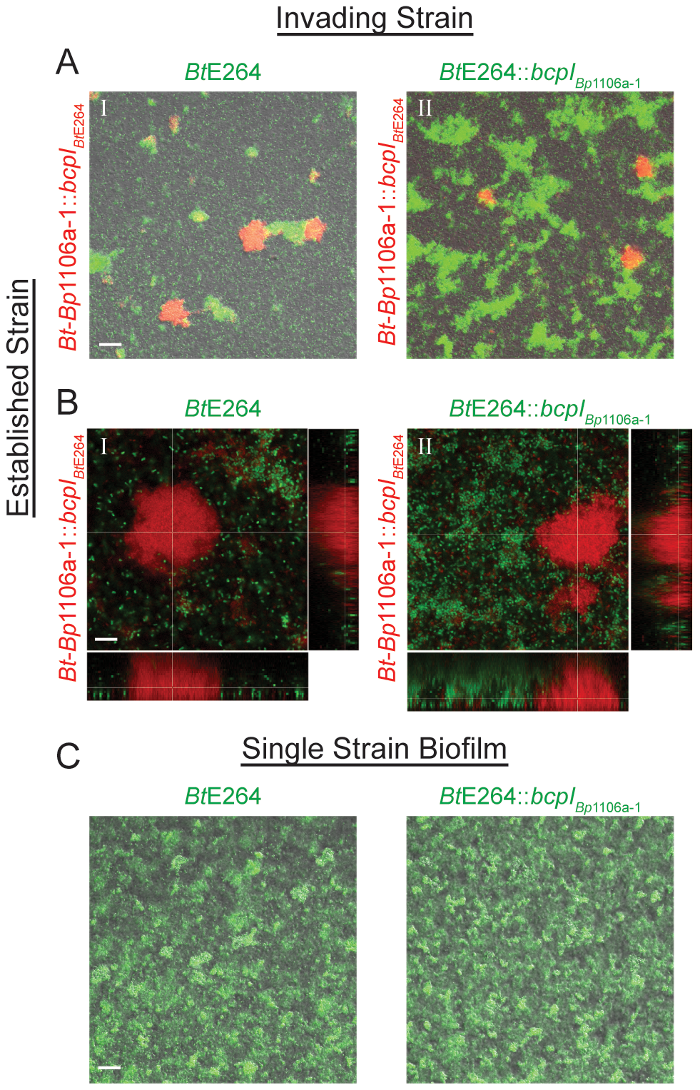 <i>bcpAIOB</i> allele-dependent competitive exclusion from an established community.