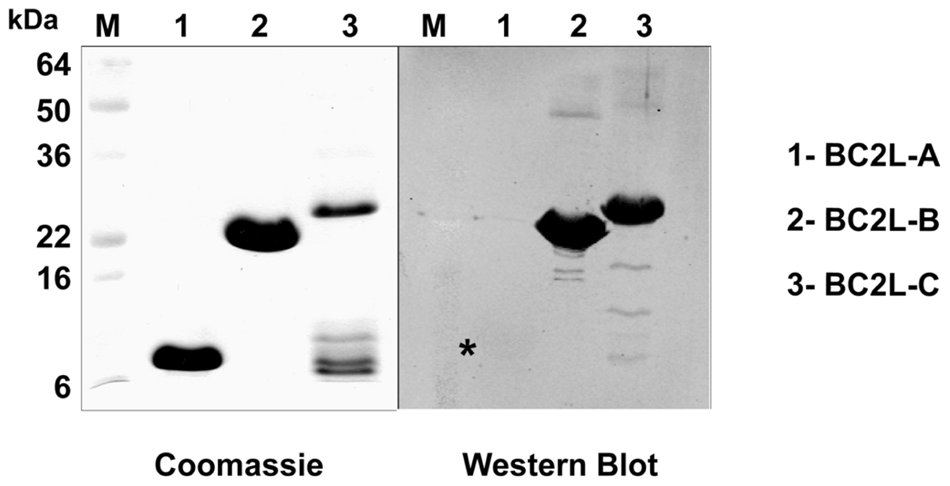 Immunodetection of soluble lectins.